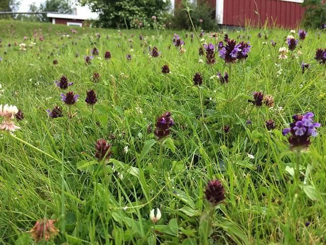 meadow-lawn