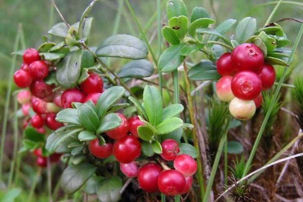 Выращивание клюквы на огороде