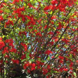 Айва японская: фото, уход, размножение