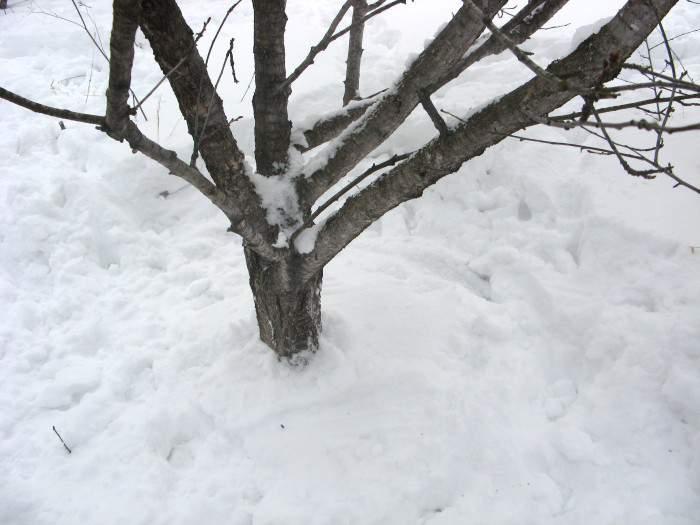 Утоптать снег под деревьями